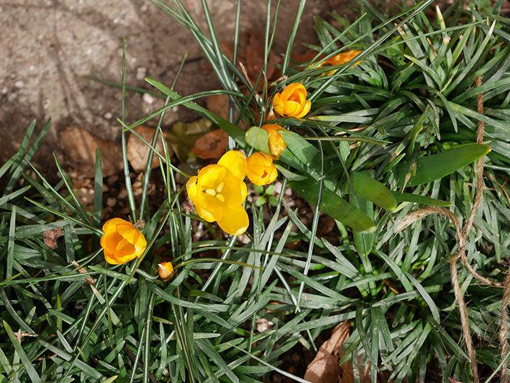 マンモスイエロー(クロッカス)の花が増えて来た。2020年-6.jpg