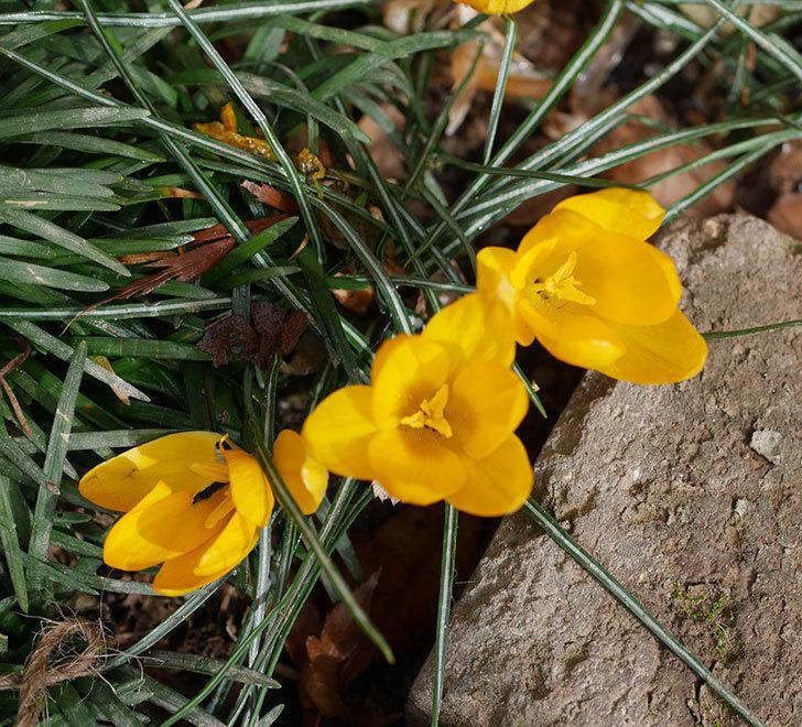 マンモスイエロー(クロッカス)の花が増えて来た。2020年-7.jpg