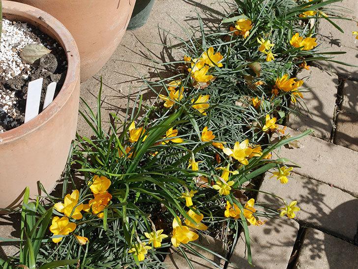 マンモスイエロー(クロッカス)の花が満開になった。2019年-11.jpg