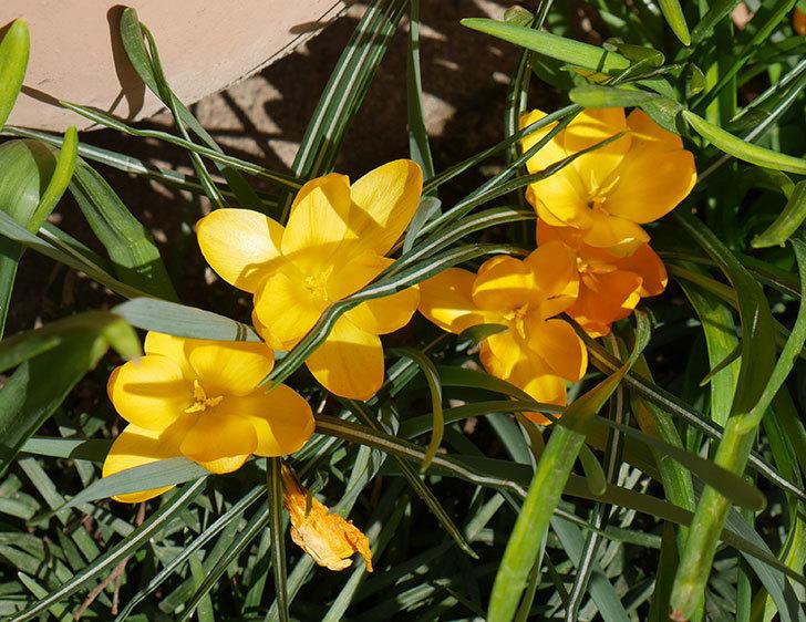 マンモスイエロー(クロッカス)の花が満開になった。2019年-8.jpg