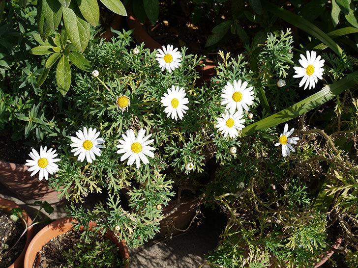 マーガレット-サンデーリップルの花が増えた。2017年-2.jpg