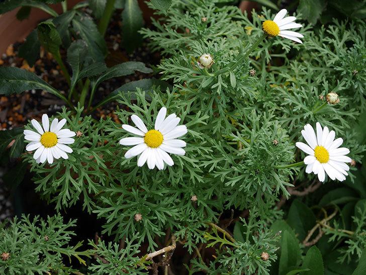 マーガレット-サンデーリップルの花が増えて来た。2020年-4.jpg