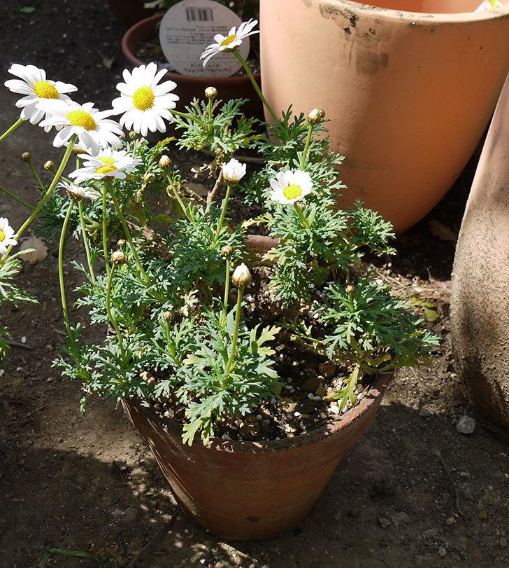 マーガレット-サンデーリップルを一回り大きい鉢に植えた。2016年-12.jpg