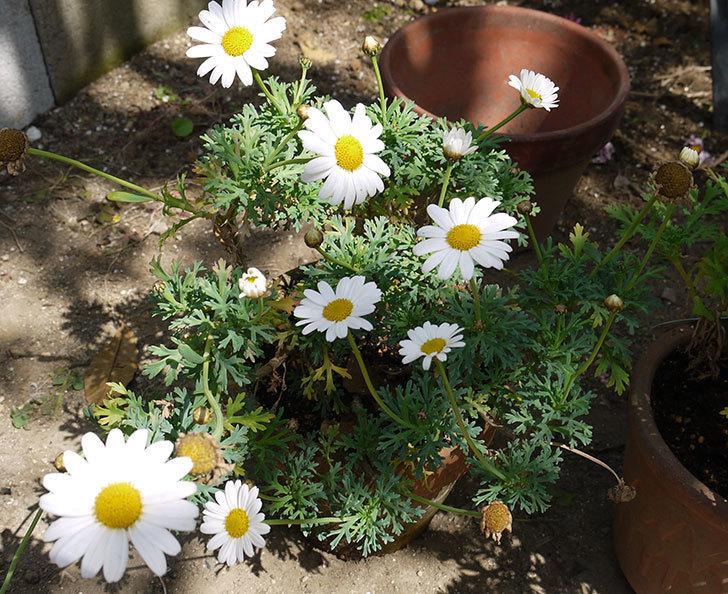 マーガレット-サンデーリップルを一回り大きい鉢に植えた。2016年-3.jpg