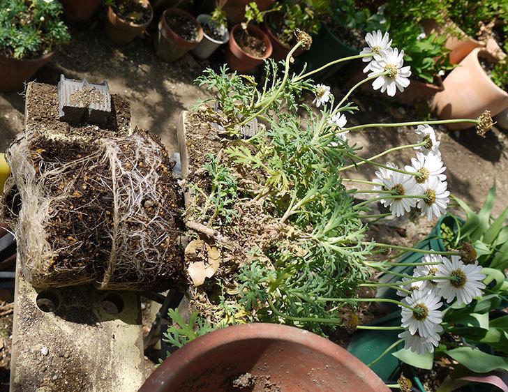 マーガレット-サンデーリップルを一回り大きい鉢に植えた。2016年-7.jpg