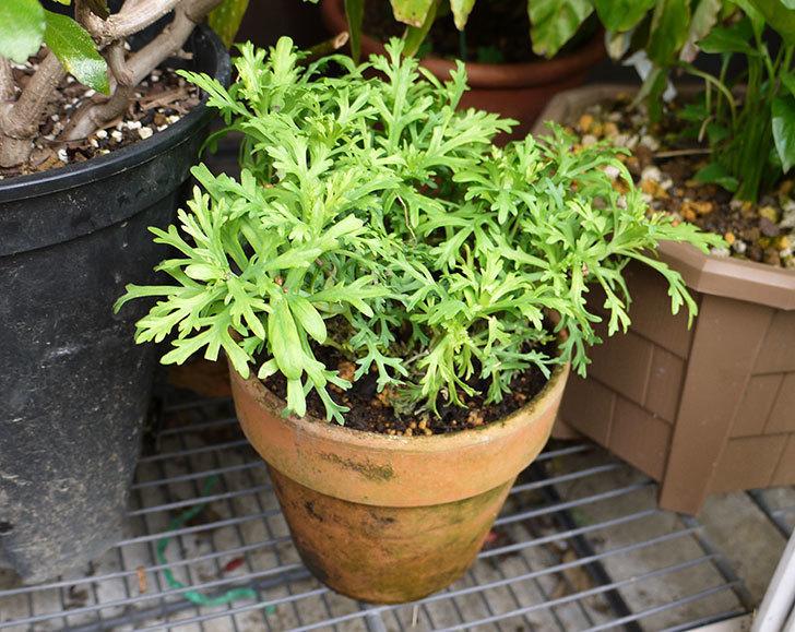 マーガレット-サンデーリップルを鉢に植えた。2016年-1.jpg