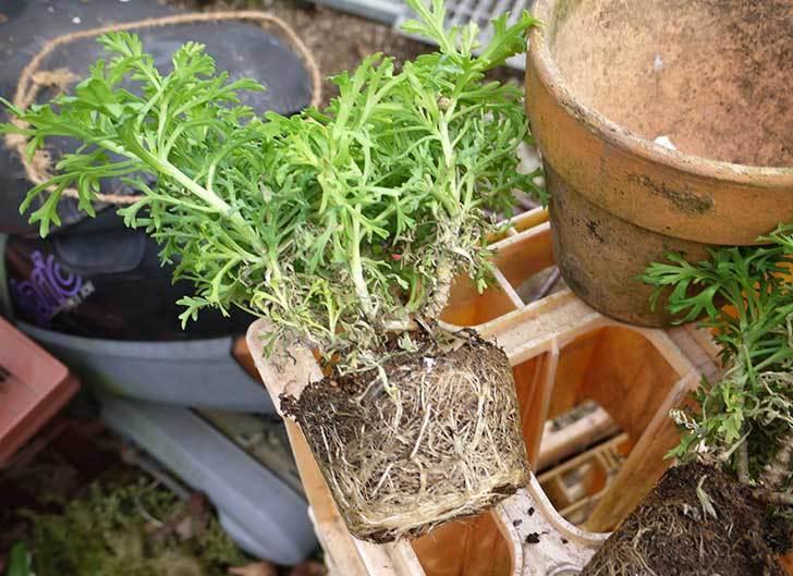 マーガレット-サンデーリップルを鉢に植えた。2016年-2.jpg