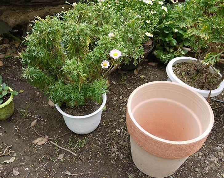 マーガレットの鉢増しをした。2015年-2.jpg