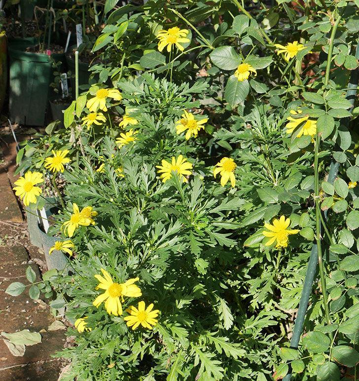マーガレットコスモス(イエローエンジェル)の花がたくさん咲いた。2017年-1.jpg