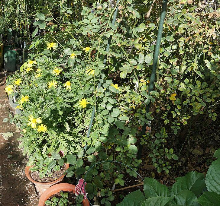 マーガレットコスモス(イエローエンジェル)の花がたくさん咲いた。2017年-3.jpg