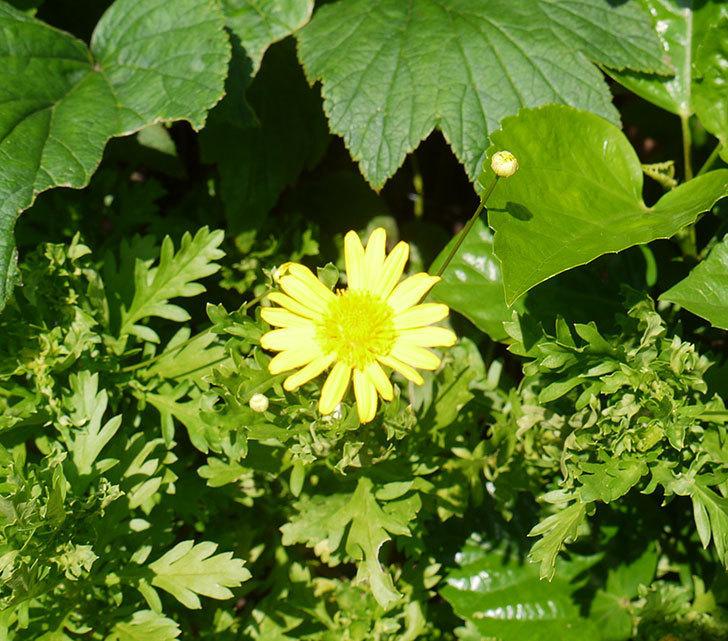 マーガレットコスモス(イエローエンジェル)の花がまた咲き出した。2016年-1.jpg