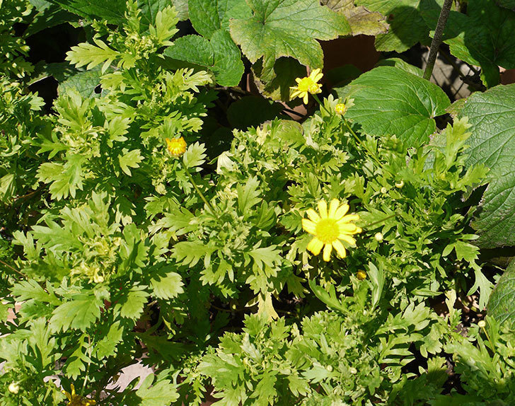 マーガレットコスモス(イエローエンジェル)の花がまた咲き出した。2016年-2.jpg