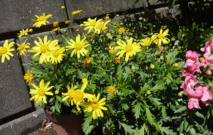 マーガレットコスモス(イエローエンジェル)の花が咲いた。2016年-3.jpg