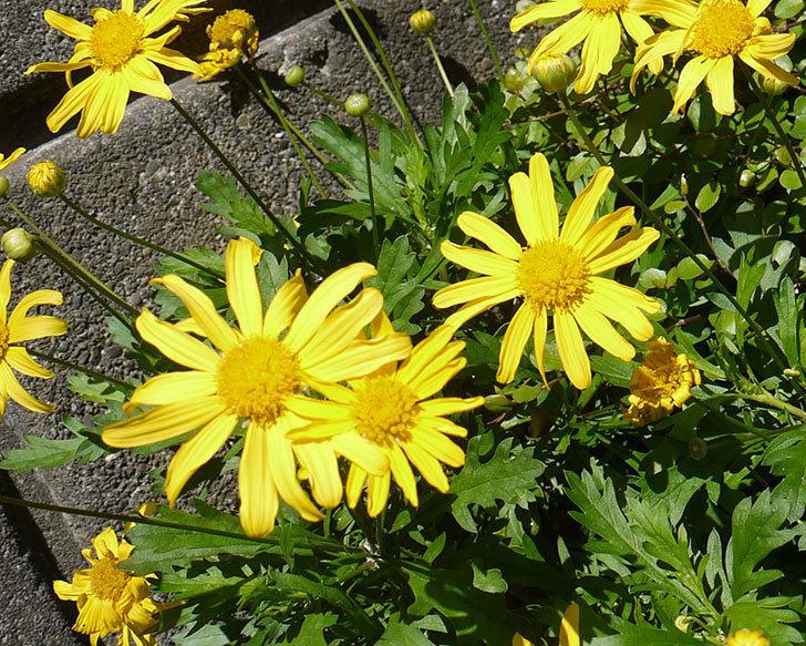 マーガレットコスモス(イエローエンジェル)の花が咲いた。2016年-4.jpg
