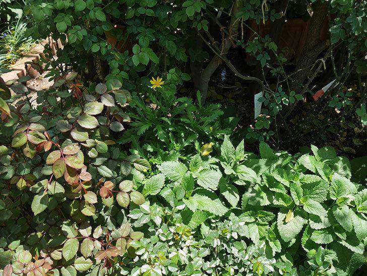 マーガレットコスモス(イエローエンジェル)の花が咲きだした。2019年-5.jpg