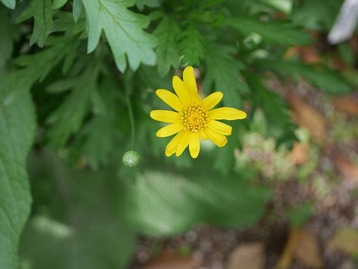 マーガレットコスモス(イエローエンジェル)の花が咲きだした。2021年-003.jpg