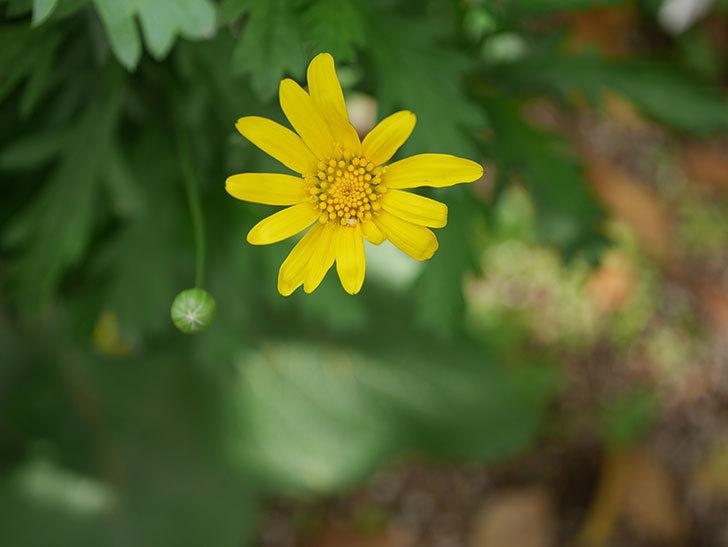 マーガレットコスモス(イエローエンジェル)の花が咲きだした。2021年-004.jpg