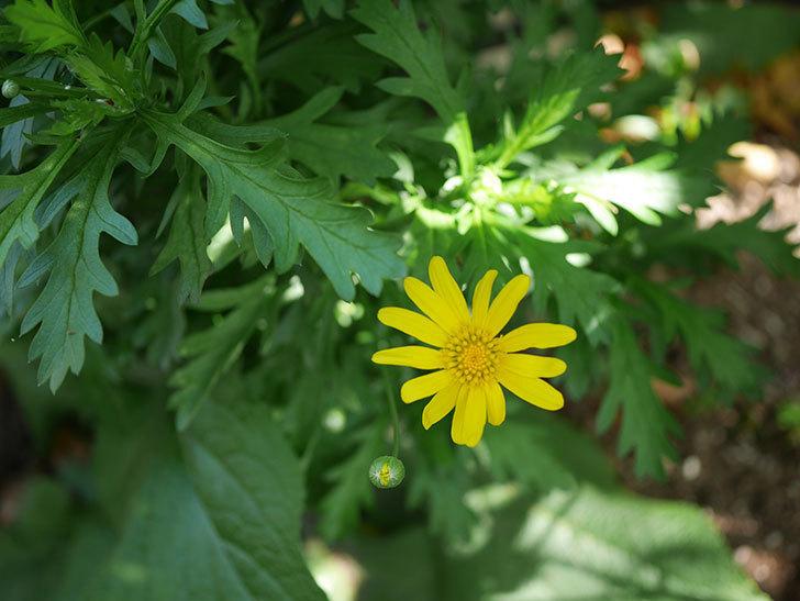 マーガレットコスモス(イエローエンジェル)の花が咲きだした。2021年-007.jpg