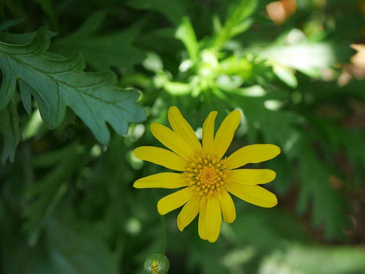 マーガレットコスモス(イエローエンジェル)の花が咲きだした。2021年-008.jpg