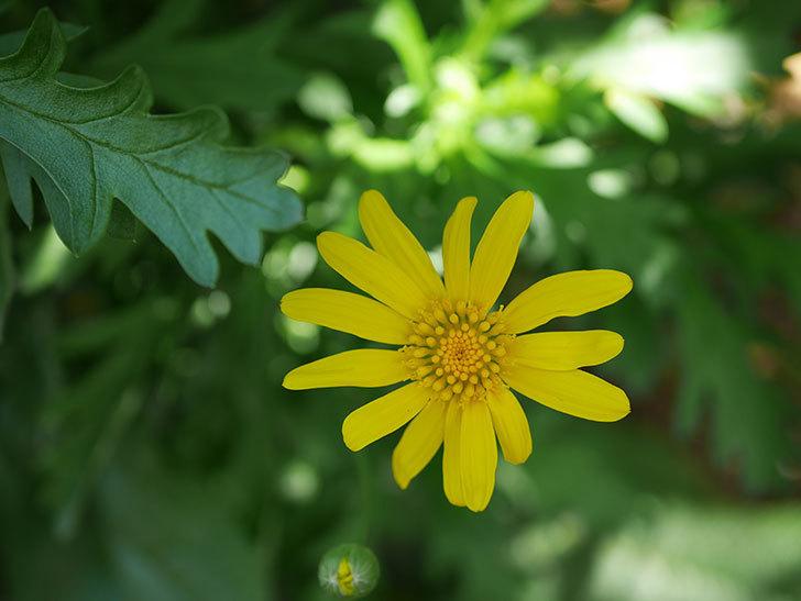 マーガレットコスモス(イエローエンジェル)の花が咲きだした。2021年-009.jpg