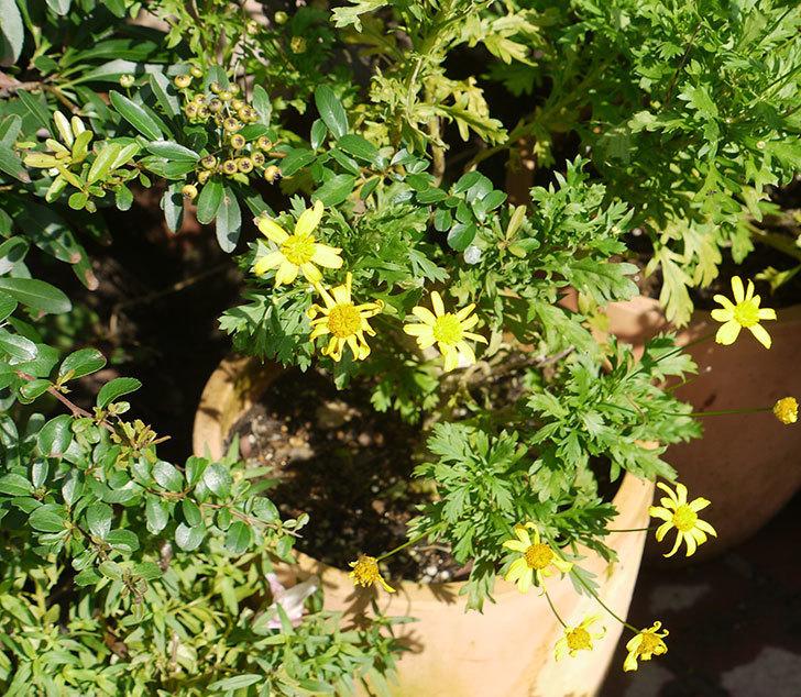 マーガレットコスモス(イエローエンジェル)の花が増えてきた。2016年-1.jpg