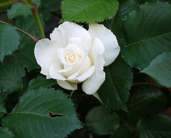 マーガレット・メリル(木立バラ)が咲いた。2018年-1.jpg
