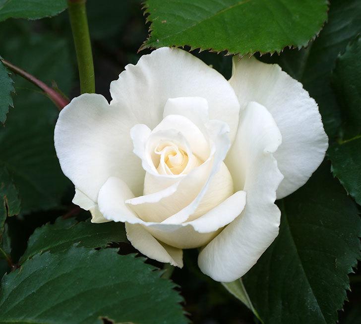 マーガレット・メリル(木立バラ)が咲いた。2018年-2.jpg