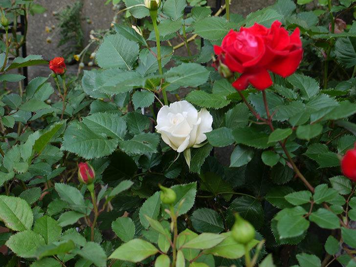 マーガレット・メリル(木立バラ)が咲いた。2018年-3.jpg