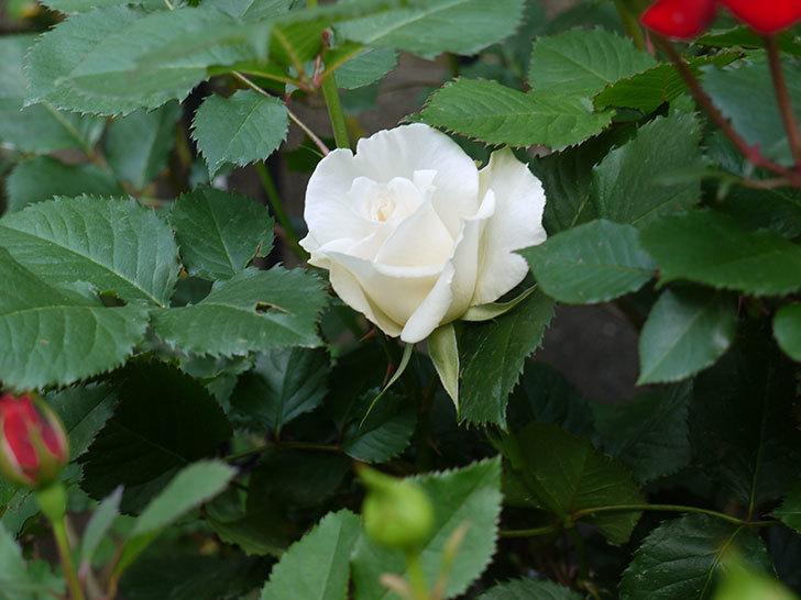 マーガレット・メリル(木立バラ)が咲いた。2018年-4.jpg