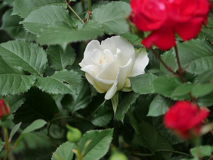 マーガレット・メリル(木立バラ)が咲いた。2018年-5.jpg