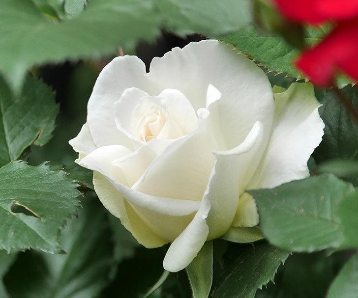 マーガレット・メリル(木立バラ)が咲いた。2018年-6.jpg