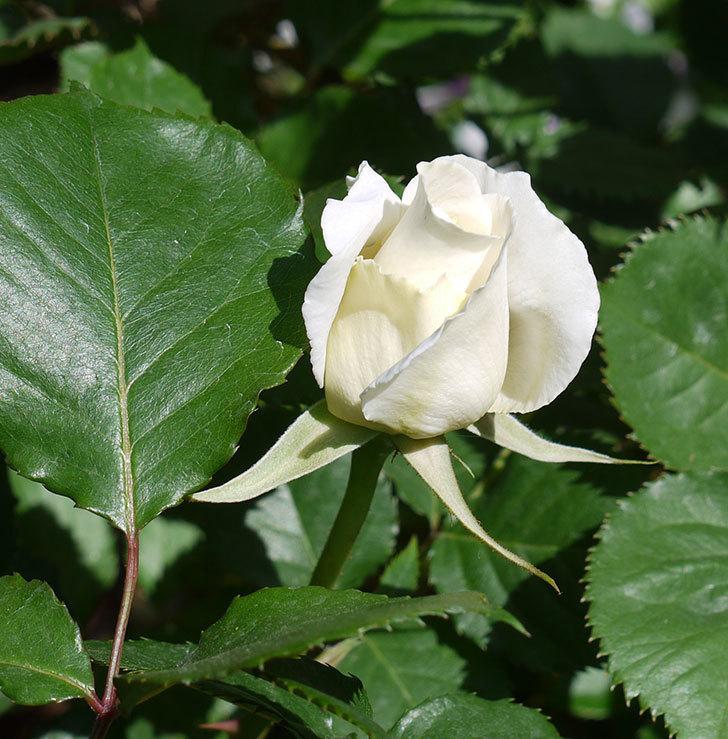 マーガレット・メリル(木立バラ)が少し咲いた。2017年-1.jpg