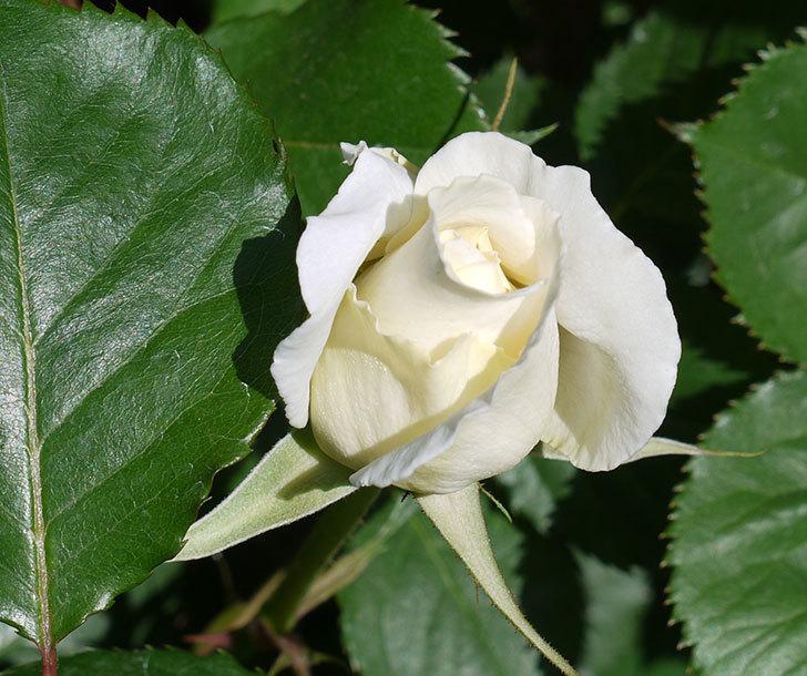 マーガレット・メリル(木立バラ)が少し咲いた。2017年-2.jpg