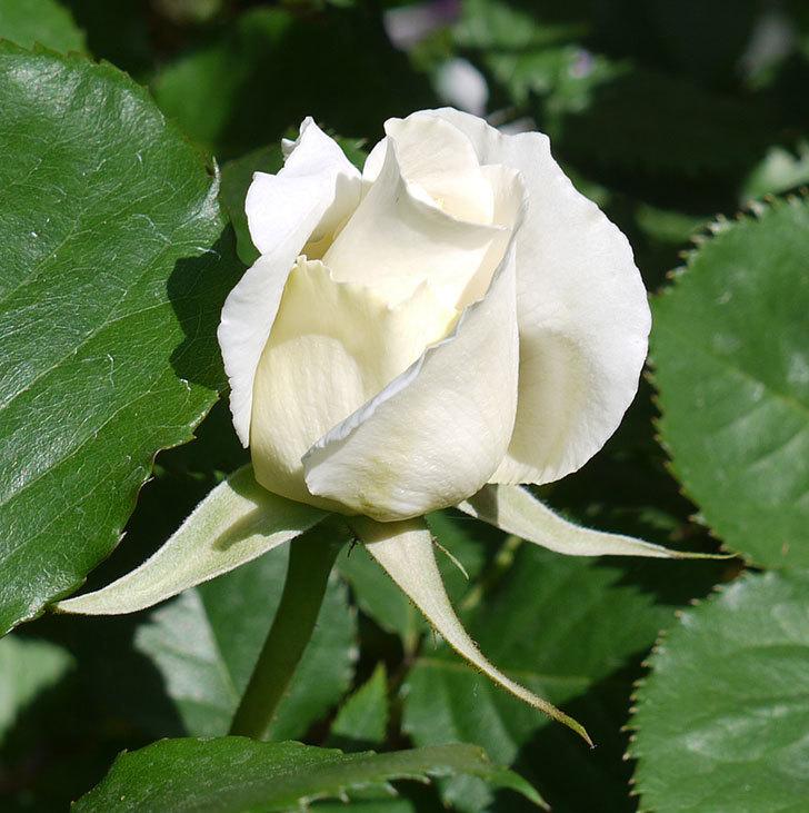 マーガレット・メリル(木立バラ)が少し咲いた。2017年-6.jpg