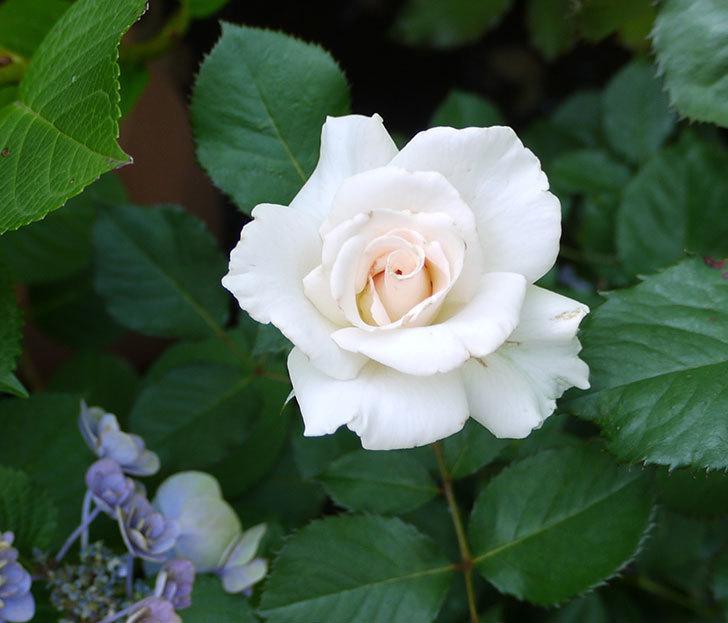 マーガレット・メリル(木立バラ)が綺麗に咲いた。2016年-1.jpg