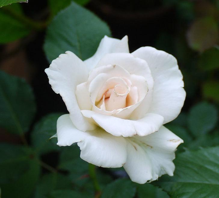 マーガレット・メリル(木立バラ)が綺麗に咲いた。2016年-2.jpg