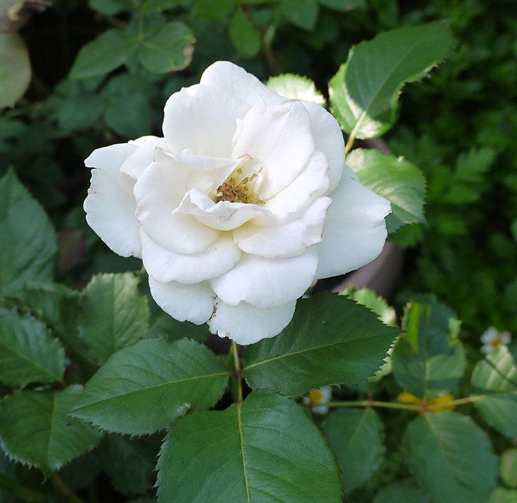 マーガレット・メリル(木立バラ)が綺麗に咲いた。2016年-3.jpg