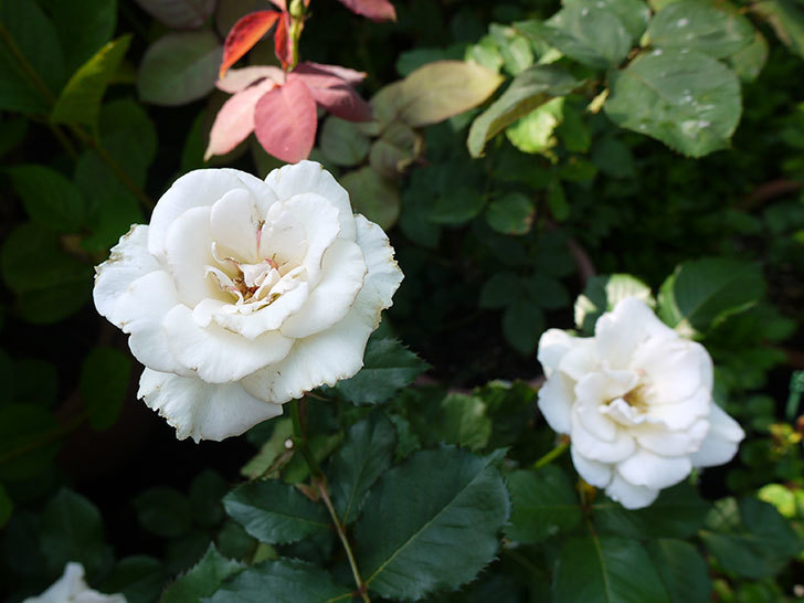 マーガレット・メリル(木立バラ)が綺麗に咲いた。2016年-4.jpg