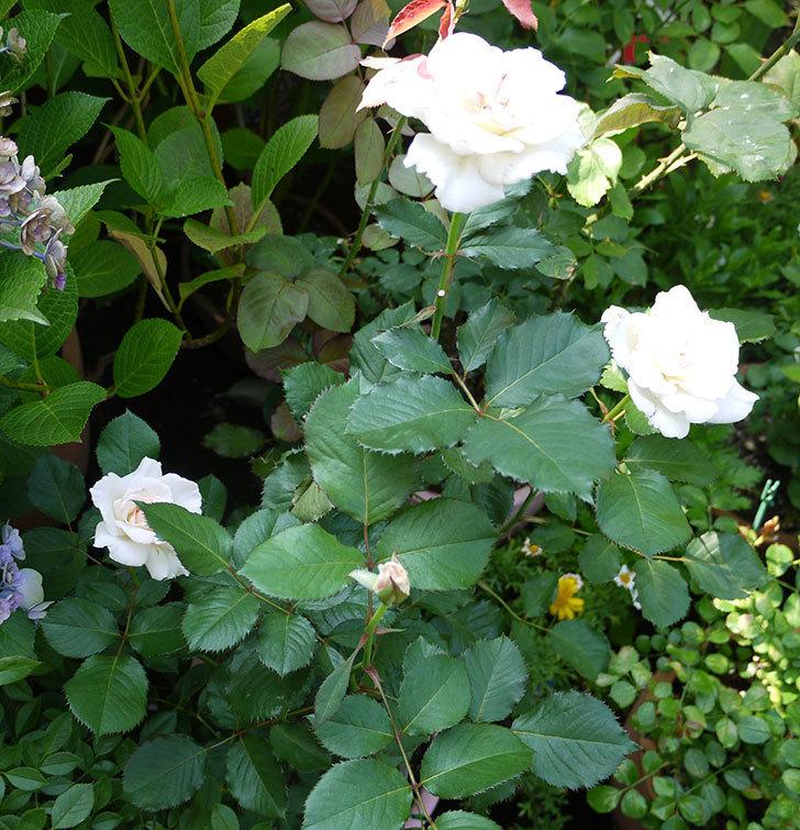 マーガレット・メリル(木立バラ)が綺麗に咲いた。2016年-5.jpg