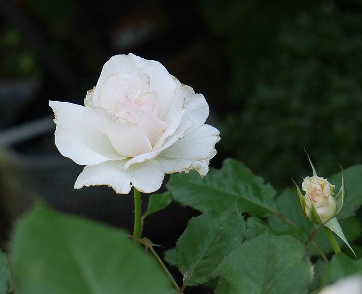 マーガレット・メリル(木立バラ)の2番花がまた咲いた。2018年-1.jpg