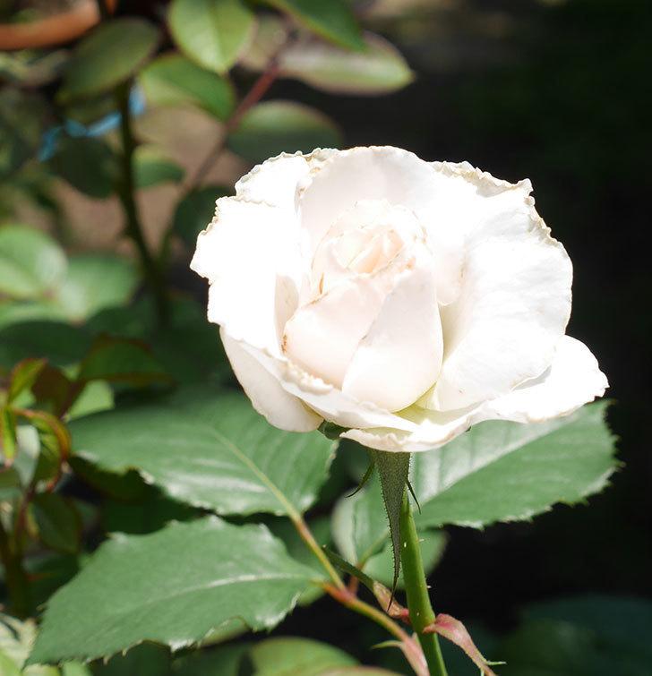 マーガレット・メリル(木立バラ)の2番花がまた咲いた。2018年-2.jpg