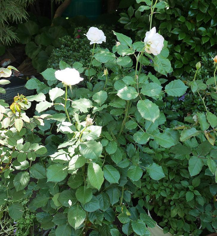 マーガレット・メリル(木立バラ)の2番花がまた咲いた。2018年-3.jpg