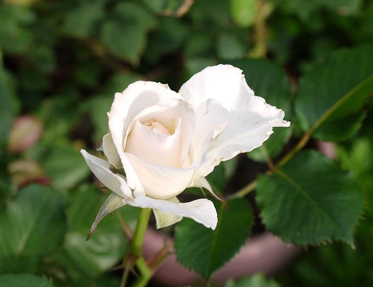 マーガレット・メリル(木立バラ)の2番花が咲いた。2016年-1.jpg