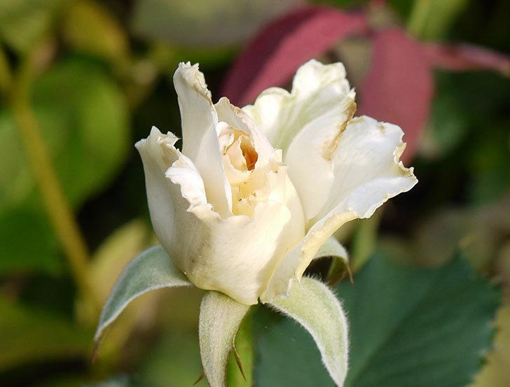 マーガレット・メリル(木立バラ)の2番花が咲いた。2016年-4.jpg