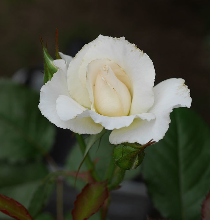 マーガレット・メリル(木立バラ)の2番花が咲いた。2018年-1.jpg