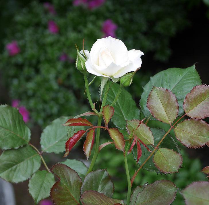 マーガレット・メリル(木立バラ)の2番花が咲いた。2018年-2.jpg
