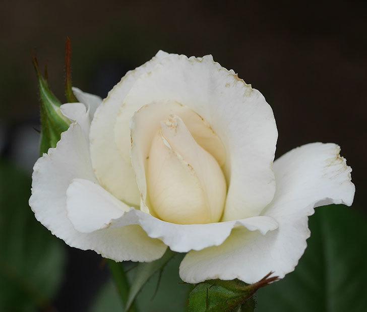 マーガレット・メリル(木立バラ)の2番花が咲いた。2018年-4.jpg