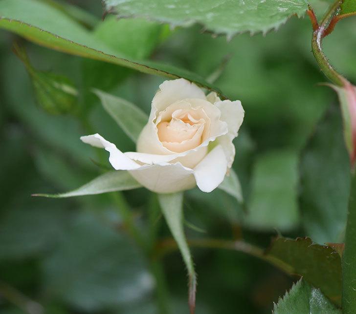 マーガレット・メリル(木立バラ)の2番花が咲いた。2019年-1.jpg
