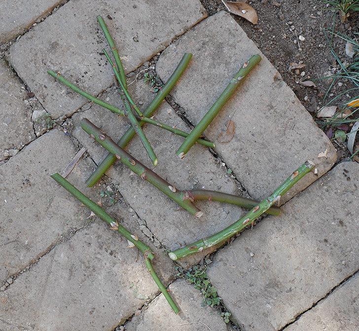 マーガレット・メリル(木立バラ)の冬剪定をした。2020年-3.jpg