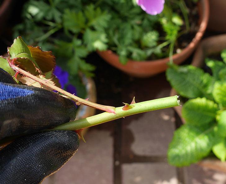 マーガレット・メリル(木立バラ)の新芽バラクキバチにやられた。2018年-5.jpg
